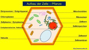 Aufbau Zelle Pflanze